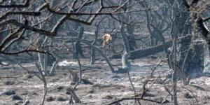 Hay 1300 animales muertos por los incendios