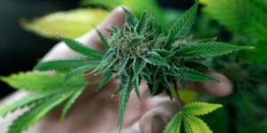 El Senado aprobó la ley de cannabis medicinal