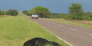 Un nuevo choque contra vacas en la ruta 10